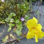 Yellow Monkeyflower